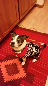 fosterdog mia in her new sweater